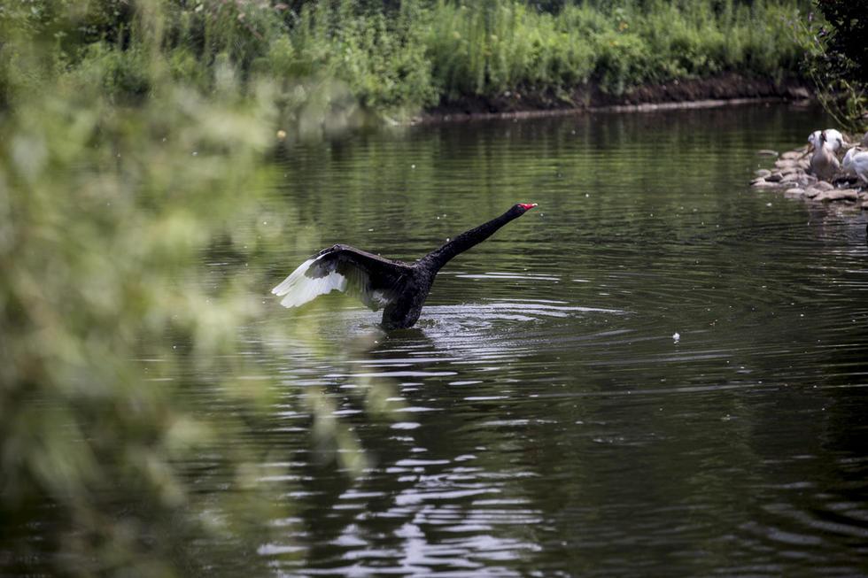 沈阳长白岛森林公园 黑天鹅优雅起舞