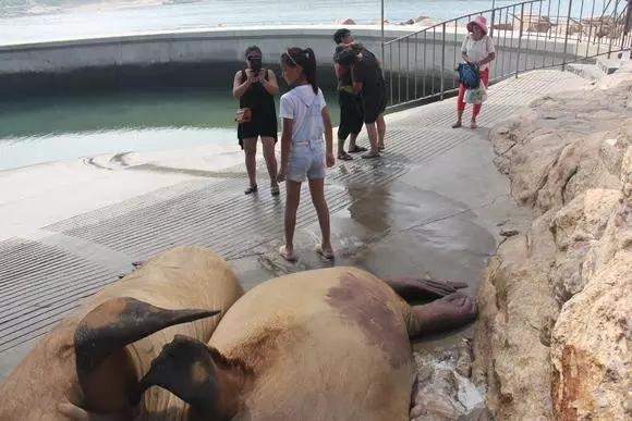 疯狂动物园海象