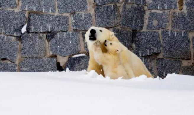 超温馨 动物园北极熊母亲带幼崽看雪