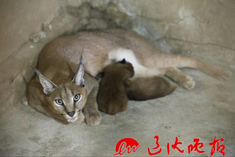 沈阳森林动物园诞生俩小狞猫