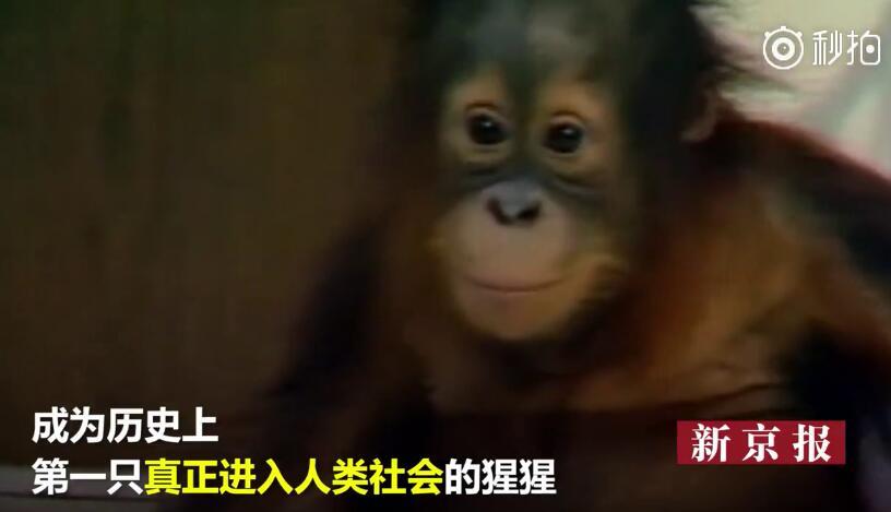 世界唯一大学毕业猩猩去世 视频 头条 聊沈