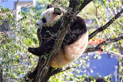 新华社 分享至: 分享  9月27日,沈阳棋盘山动物园大熊猫馆正式开馆,四