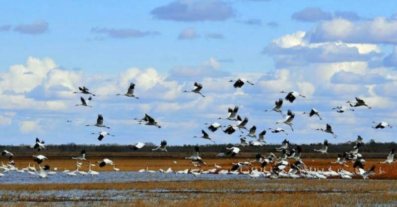 辽宁法库獾子洞国家湿地公园迎来200余只白鹤回归,大雁等候鸟也成群结